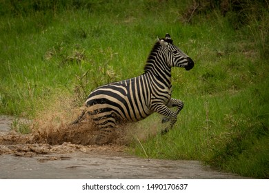 Plains zebra jumps from river onto bank
