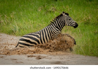 Plains zebra jumps from river onto grass
