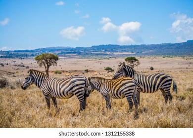 Plains zebra on dry African grassland