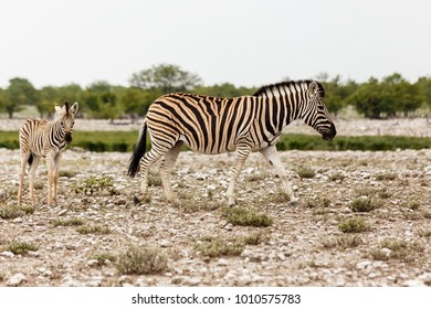 Plains Zebra (quus quagga) with foal, Etosha National Park, Namibia