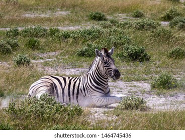 A Plains Zebra in the savannah grass of the Etosha National park in northern Namibia during summer