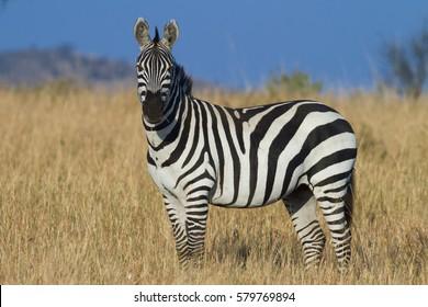 Plains zebra, Serengeti National Park, Tanzania, East Africa.