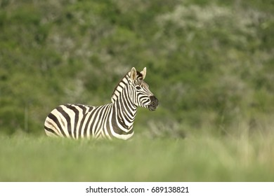 Plains Zebra spooked by a hunting lioness, South Africa
