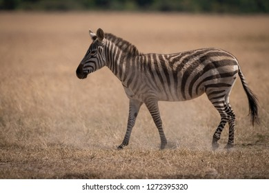 Plains zebra walks on grass in savannah