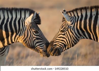 Plains zebras greeting, Etosha, Namibia