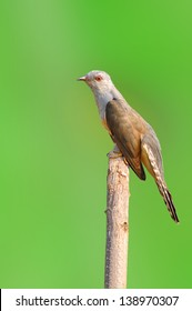 Plaintive Cuckoo bird siiting on branch whit green background