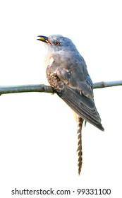 Plaintive Cuckoo bird siiting on branch on white background