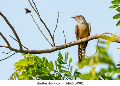 Plaintive Cuckoo perching on a perch, looking into a distance