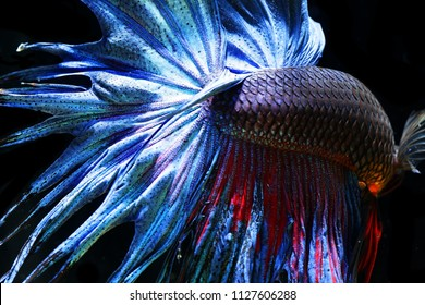 ( Pla-kad),colorful Betta fish isolated on black background.