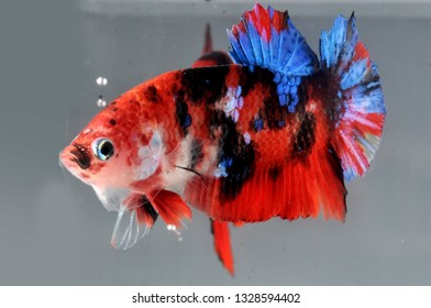 plakat betta fish koi fancy