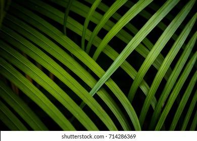 plam leaf