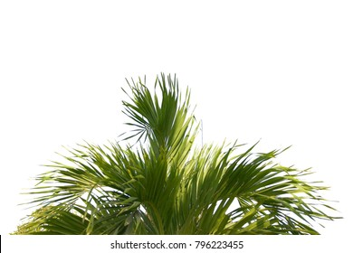 Plam tree branch isolated with white background and with clipping path.