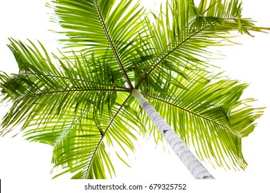 plam tree on white background. coconut leaves.