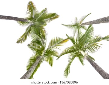 Plam trees isolated on the white background,this view looks upward from land.
