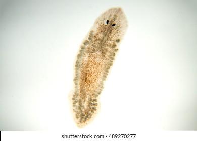 Planaria flatworm, under microscope view.(soft focus)