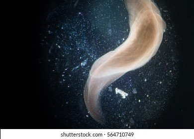 Planarian (flatworm) moving under microscope view.