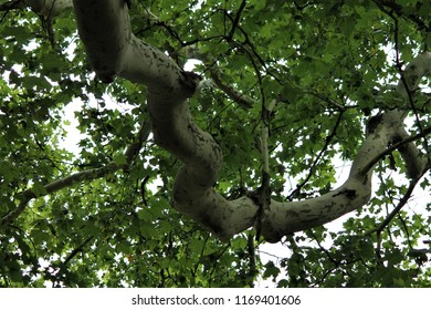 plane tree branch with leaves and fruit