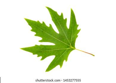 Plane tree leaf isolated on white background. Herbarium series.