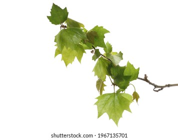 Plane tree in spring, young sycamore leaves isolated on white background