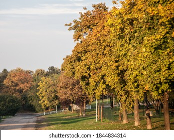 Plane trees with fall colors next to a footpath and a road during the fall season, with their green, brown, yellow and orange foliage.