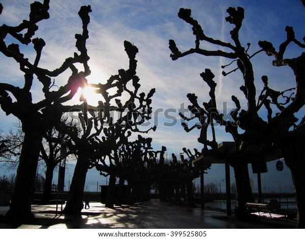 Plane-trees in winter with low sun, Rapperswil