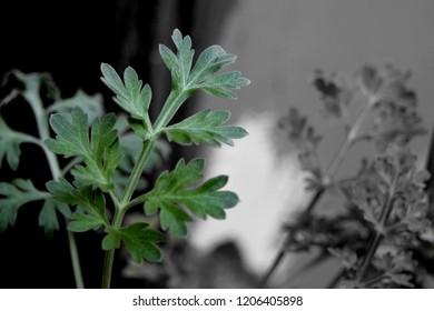 Plant of absinthe (Artemisia absinthium)
