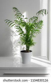 plant Areca in a white pot on a table against a white wall background