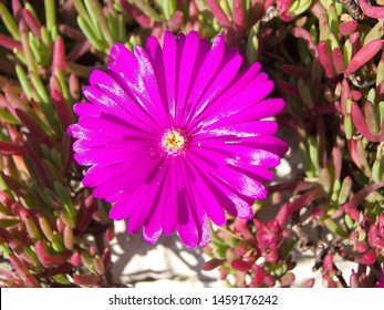 The plant of asteraceae makes violet flowers. The flower of the photo is small and round. The photo comes from a garden in the north of Italy. The plant is born on a wall.