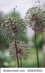 Plant astrantia major garden background