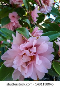 Plant of baby pink flores and green leaves as background,  japonica camellias in a home garden floricultural photography
