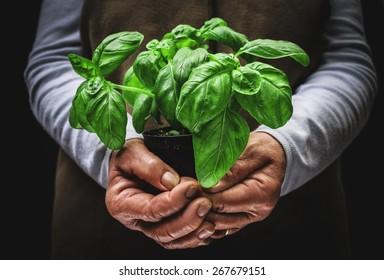 plant of basil
