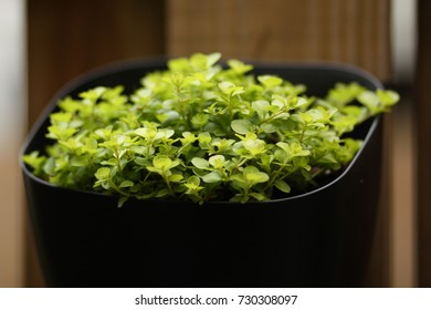 Plant in black container