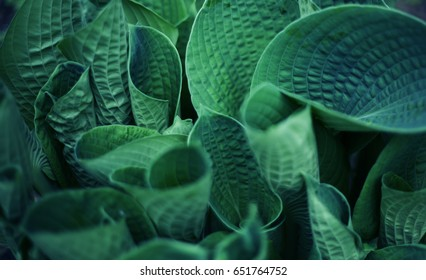 plant with blue big leafs  background close up photo