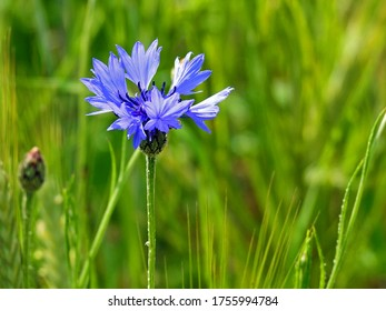 a plant with blue flowers called Cornflower Cornflower growing along a dirt road in the village of Fasty in the Podlasie region in Poland - Shutterstock ID 1755994784