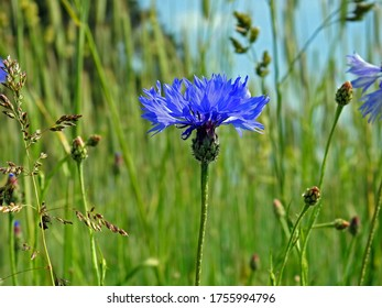 a plant with blue flowers called Cornflower Cornflower growing along a dirt road in the village of Fasty in the Podlasie region in Poland - Shutterstock ID 1755994796