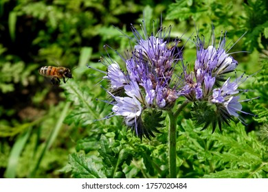 a plant with blue-violet flowers called blue phacelia growing along a dirt road in the village of Fasty in the Podlasie region of Poland - Shutterstock ID 1757020484