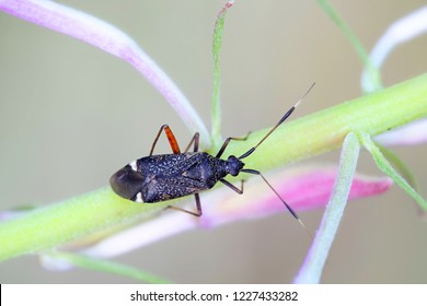 Plant bug, Closterotomus biclavatus, and fireweed