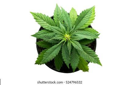 plant bush cannabis marijuana leaves top view