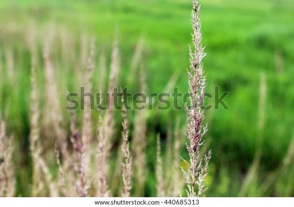 Plant Calamagrostis epigeios
