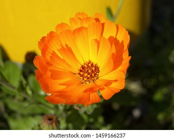The plant of calendula featuring asteraceae flower. The botanical family of calendula is asteraceae.