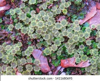plant called common liverwort, Marchantia polymorpha,