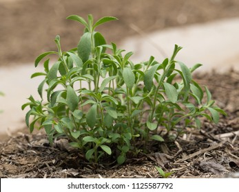 A plant called Stevia that is the source of a sweetener