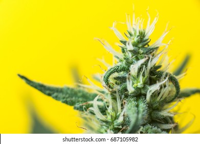 Plant cannabis, marijuana flowering and bud growing on a farm in the United States