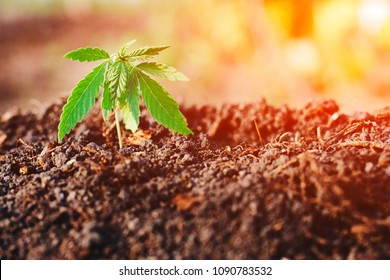 Plant of cannabis seedlings at stage of vegetation planted in soil in sun, beautiful background, cultivation of marijuana for medical purposes