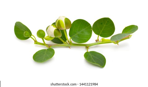 Plant Capparis, known as caper shrubs or caperbushes. Isolated on white background.