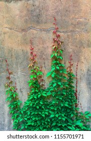 Plant climbing on wall