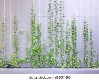 Plant climbing rope