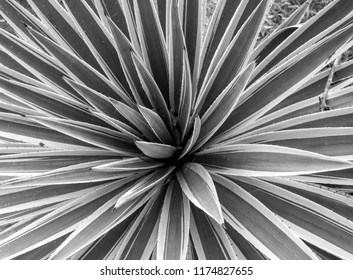 Plant in Colombia close up black and white