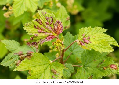 Plant Currant With Spots Of Fungal Disease On Leaves Grow In Garden In Spring Close Up.