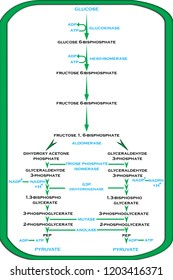 Plant Cycles - Process of Glycolysis